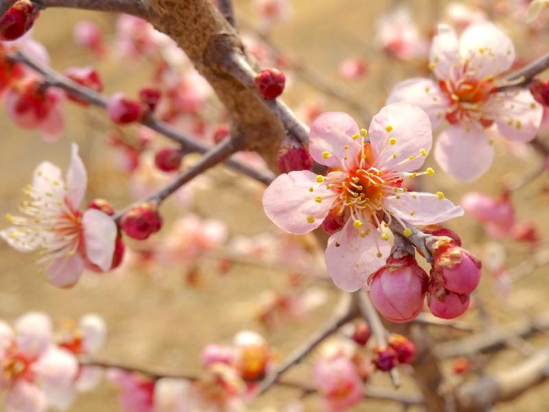 【秩父】東京から日帰りハイキング! 梅と蝋梅を見に行こう