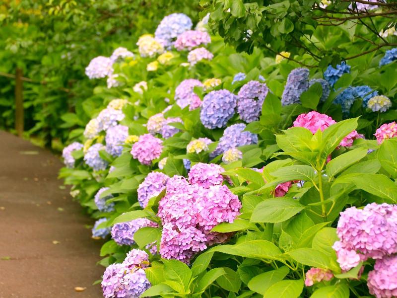 歴史的な建物と紫陽花のコラボが楽しめる! 郷土の森あじさいまつり開催中