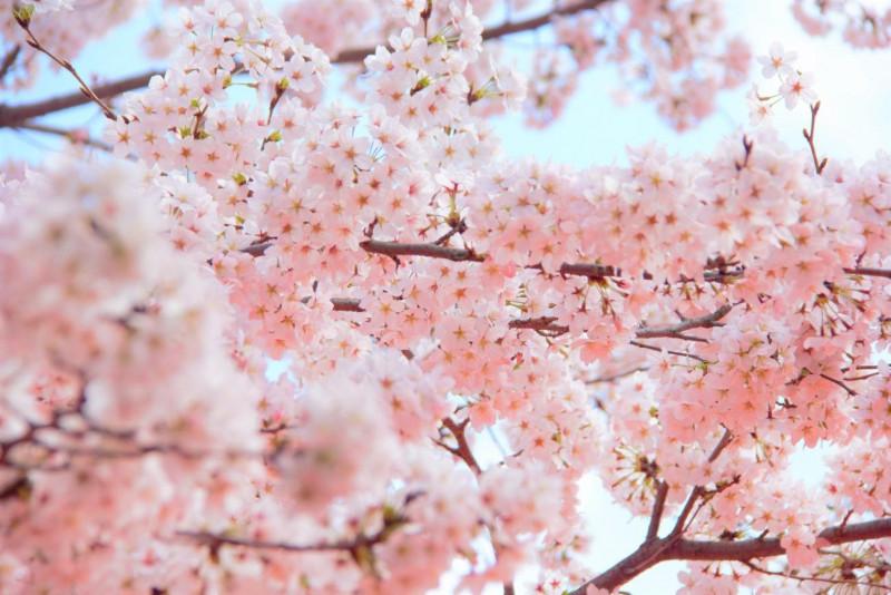 桜 開花 2020