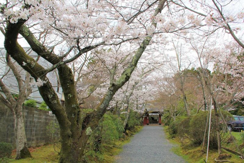 【京都】2020年桜の開花・見ごろは? おすすめの桜名所と穴場、観光ポイント
