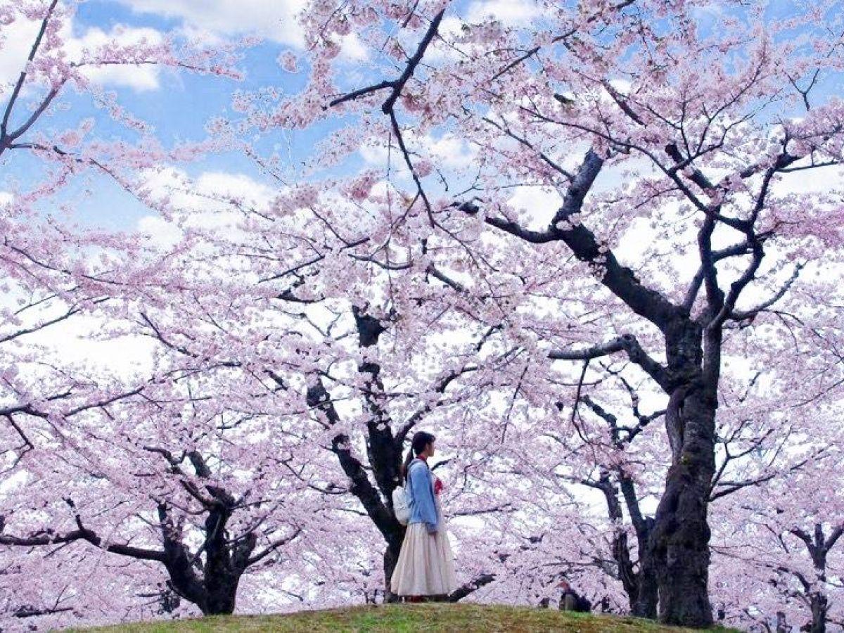 GWが見頃! 道民がおすすめする北海道の桜の名所5選!