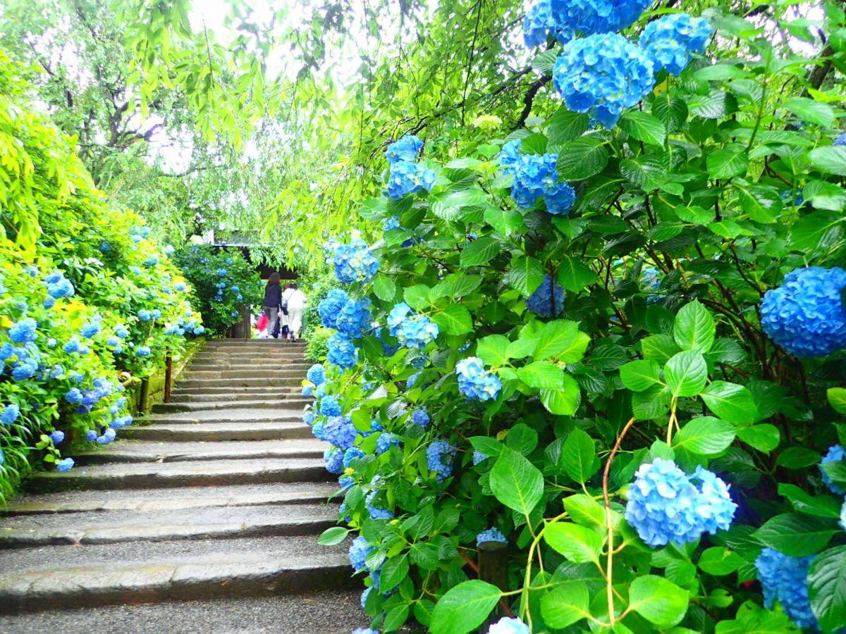 【鎌倉】一度は訪れたい風情を感じるあじさいの名所