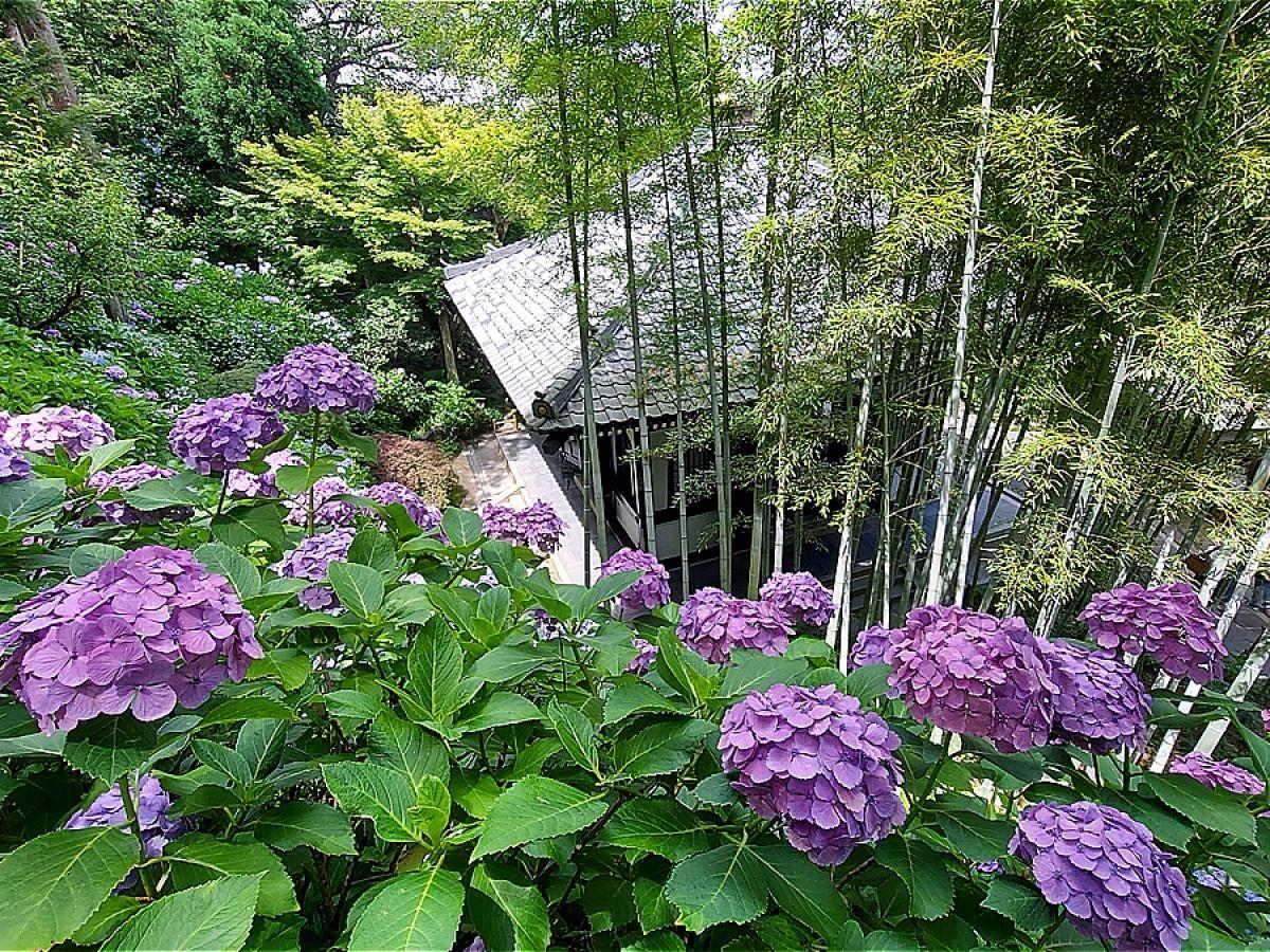 【鎌倉】あじさい寺 「明月院」「長谷寺」で咲き誇るあじさいを満喫しよう!