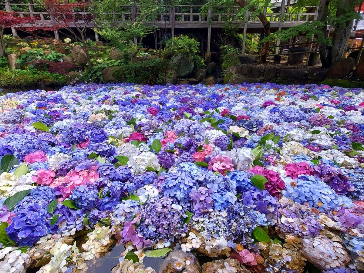 【茨城】あじさい寺「雨引観音」であじさいの『水中華』 を満喫しよう!